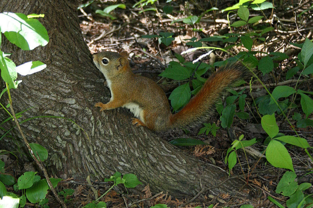 Red Squirrel, Stony Swamp Trail, Ottawa ON