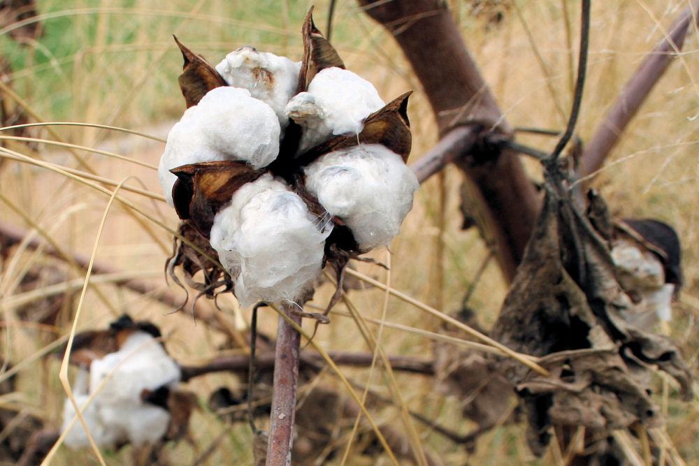 Cotton plant, Dallas Arboretum, Dallas, Texas