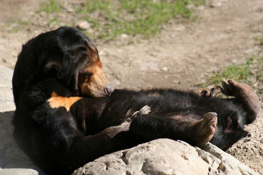 Asian Sun Bear, Fort Worth Zoo, Fort Worth, TX