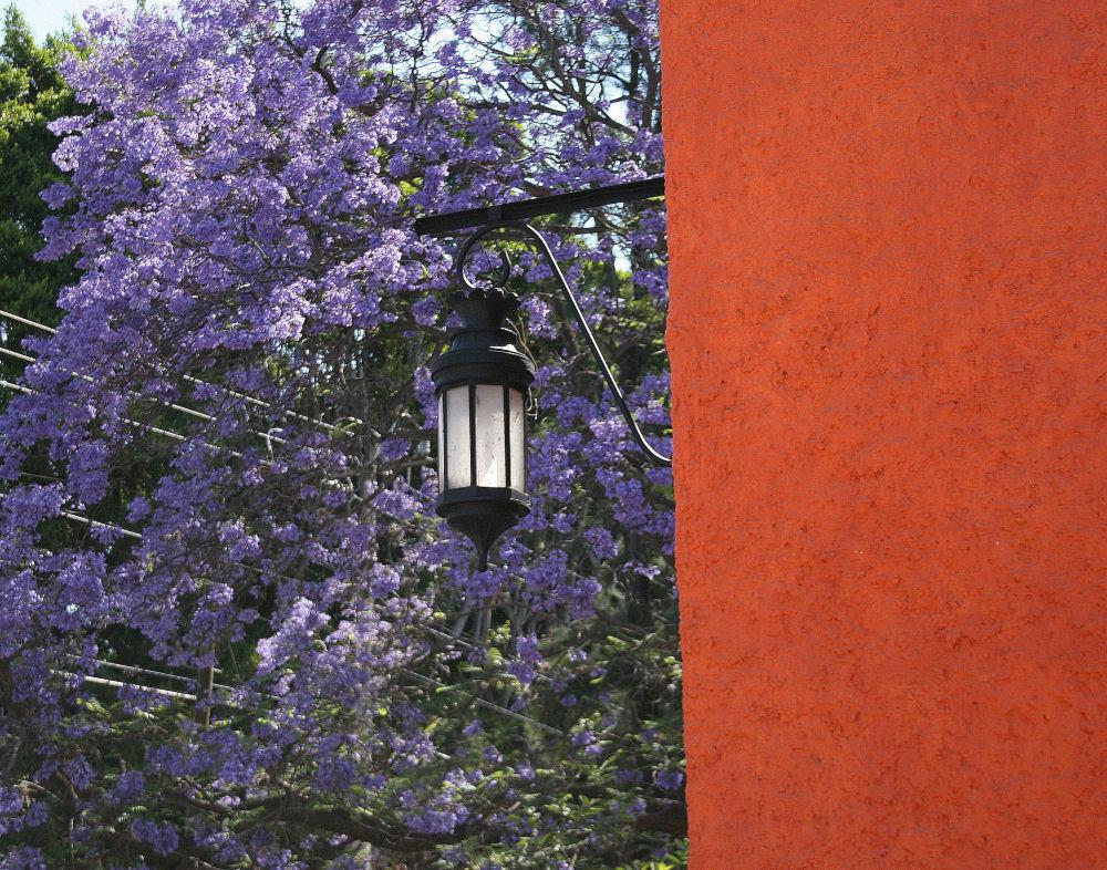 Jacaranda tree in bloom, Ajijic, Mexico