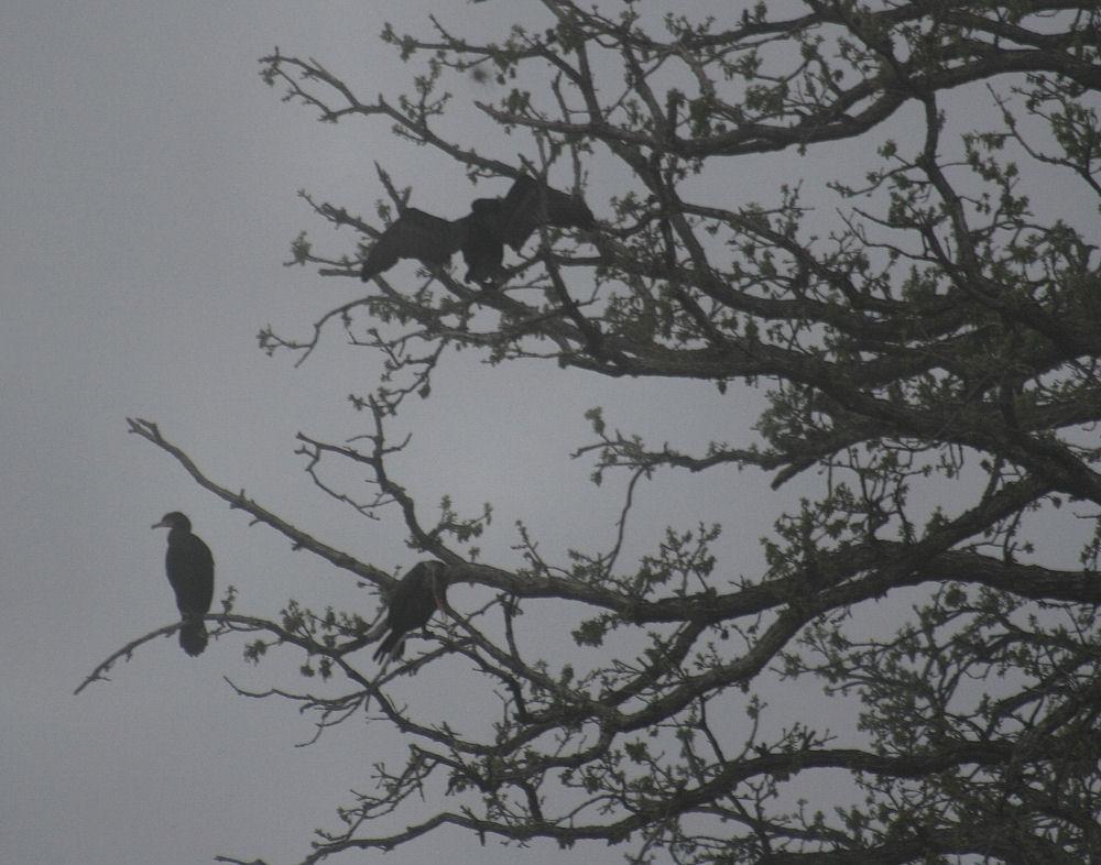 Cormorants, Andrew Brown Park, Coppell, TX