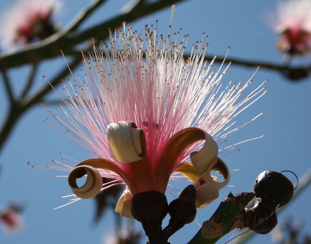 Shavingbrush tree in bloom, Chapala, Mexico