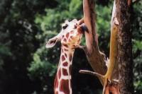 Giraffe, Fossil Rim Park, Glenrose, Texas