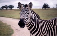 Zebra, Fossil Rim Park, Glenrose, Texas