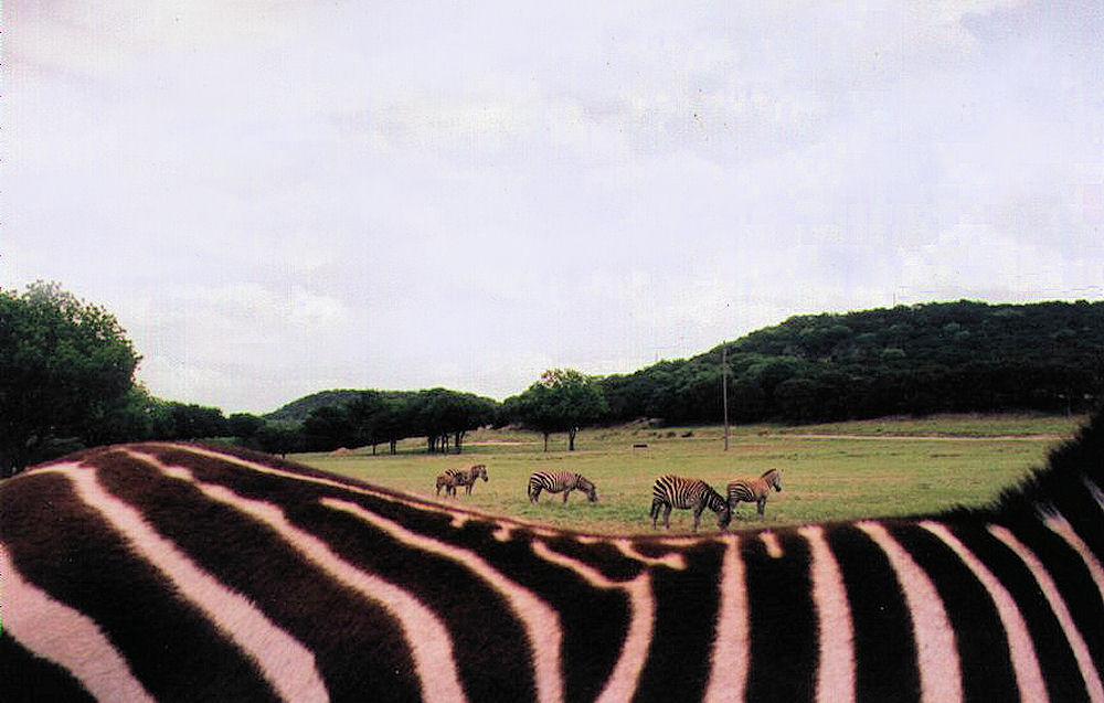 Zebras at Fossil Rim Wildlife Center, Glenrose, TX