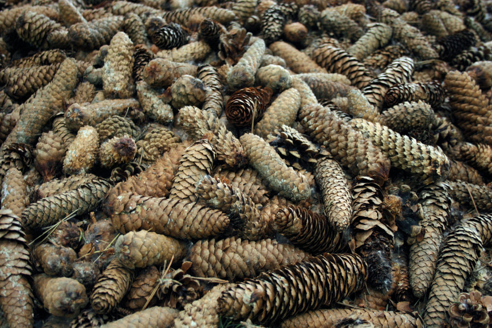Spruce, Fir, and White Pine cones, Ottawa ON