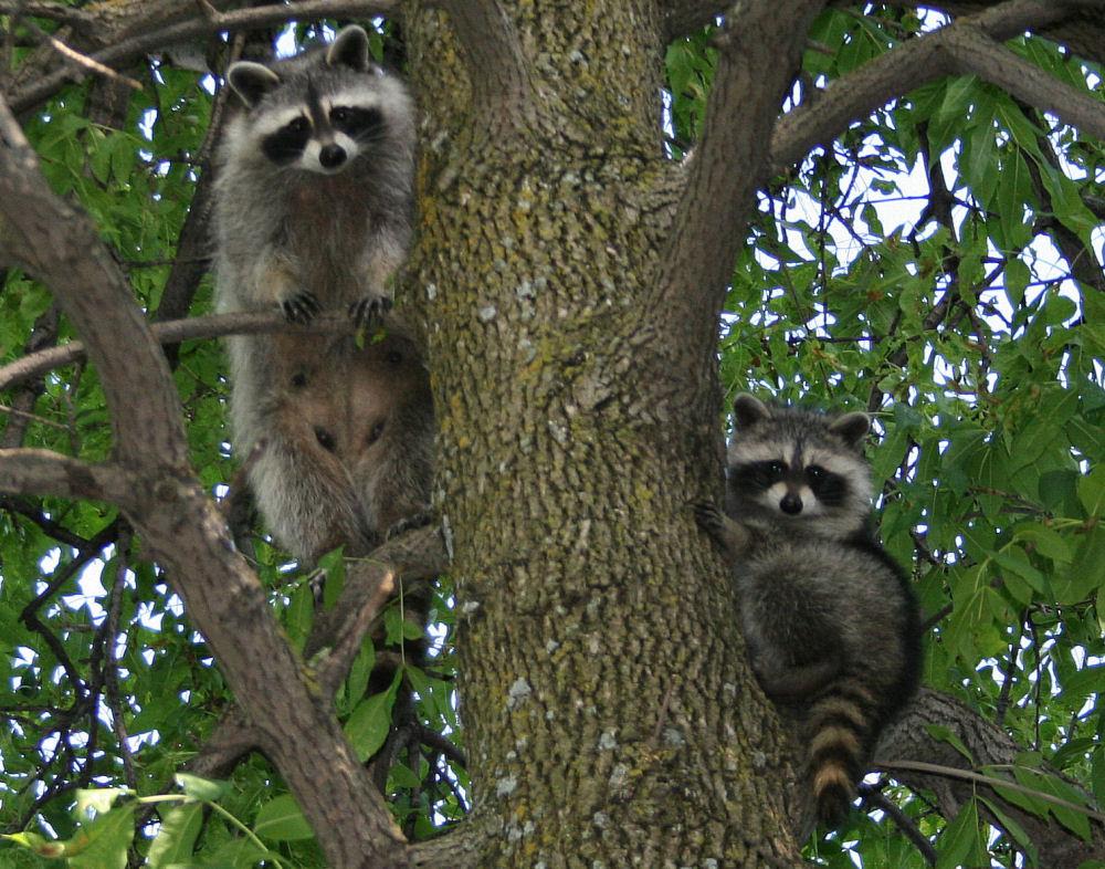 Raccoons, Ottawa, ON