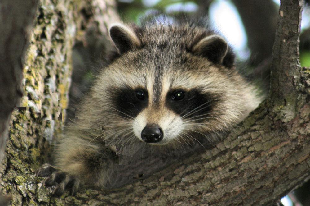 Curious Raccoon, Ottawa, ON