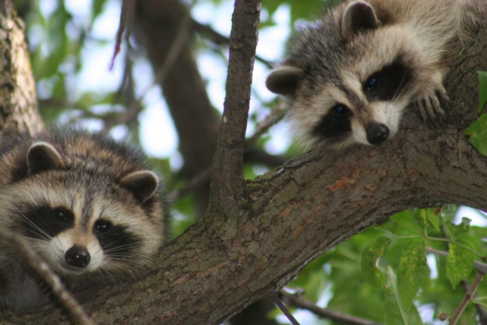 Curious Raccoons, Ottawa, ON