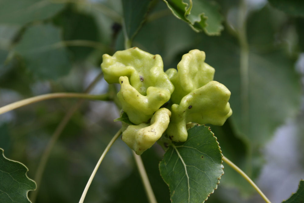 Insect gall on Eastern Cottonwood leaf, Ottawa, ON