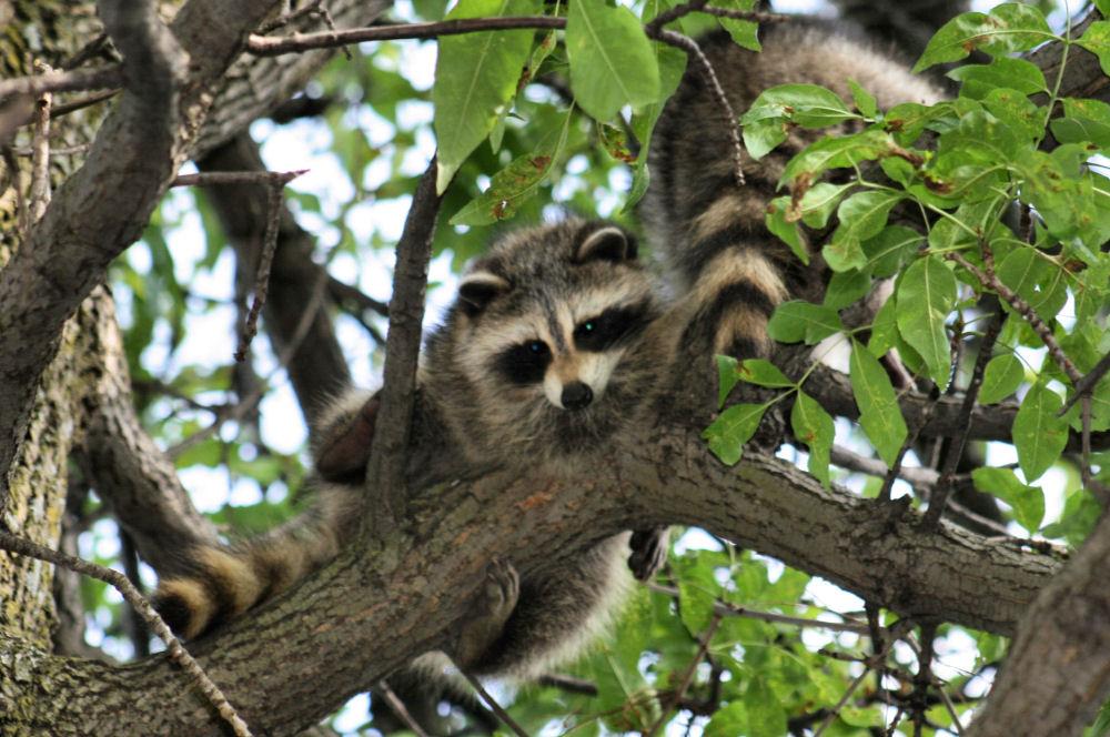 Raccoon, Ottawa, ON