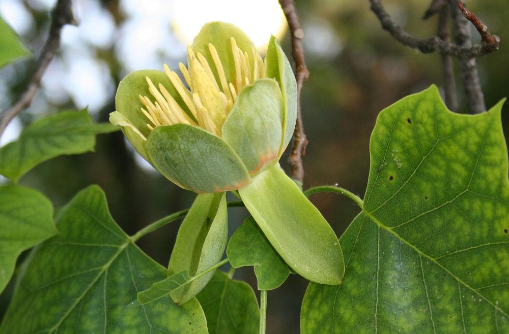 Yellow Poplar, also called Tulip Tree, flower, Niagara Falls, NY