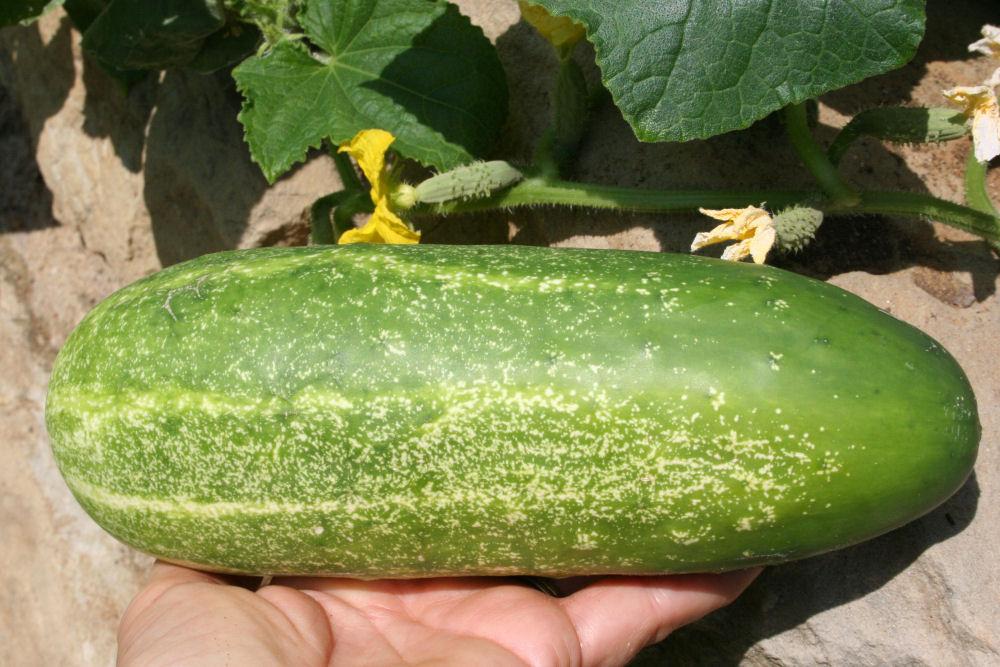 Cucumber growth