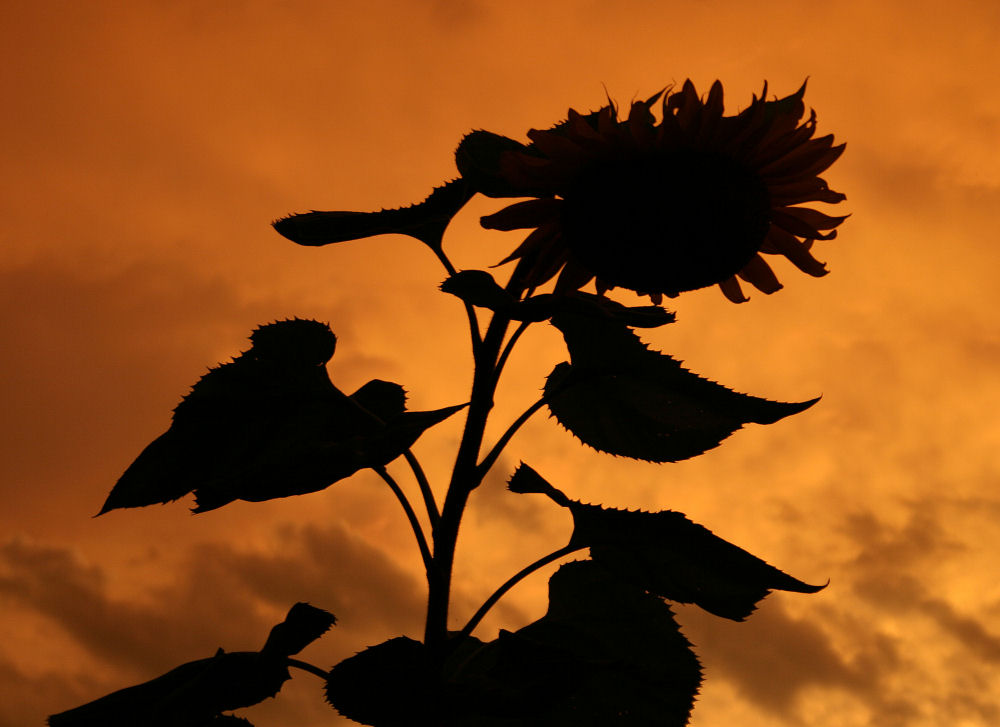 Evening sunflower sillhouette