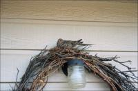 Dove nesting in the wreath by our back door.