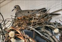 The doves laid eggs during May which did not survive, but of the second batch in September one chick survived.
