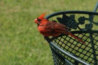 Male Cardinal in the back yard, Lewisville, TX
