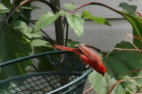 Male Cardinal in the back yard, interested in the sunflower seed heads