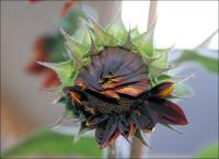 Red sunflower unfolding
