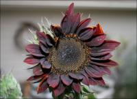 Secondary flower