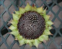 Seeds mandala - secondary bloom