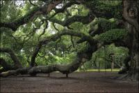 The 1500 year old Angel Oak on Johns Island, South Carolina