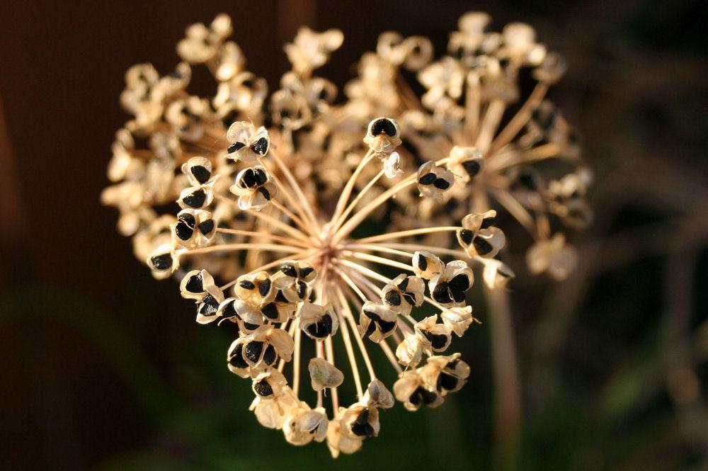 Garlic Chives seed-head
