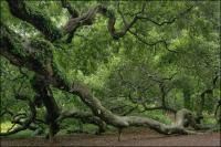 Arbourists have propped and supported the weight of the branches of the Angel Oak with stakes and cables.