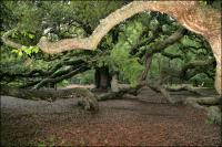 Branches extend over thirty feet away from the trunk on the 1500 year old Angel Oak on John\'s Island, South Carolina