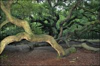 Branches extend over thirty feet away from the trunk on the 1500 year old Angel Oak on Johns Island, South Carolina