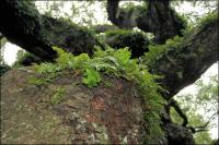 Healthy ferns support other organisms on the branches of 1500 year old Angel Oak on Johns Island, South Carolina