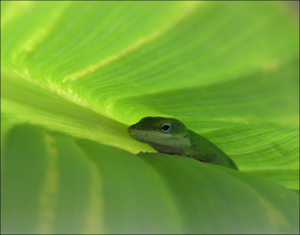 Green Anole in a Canna Lily leaf