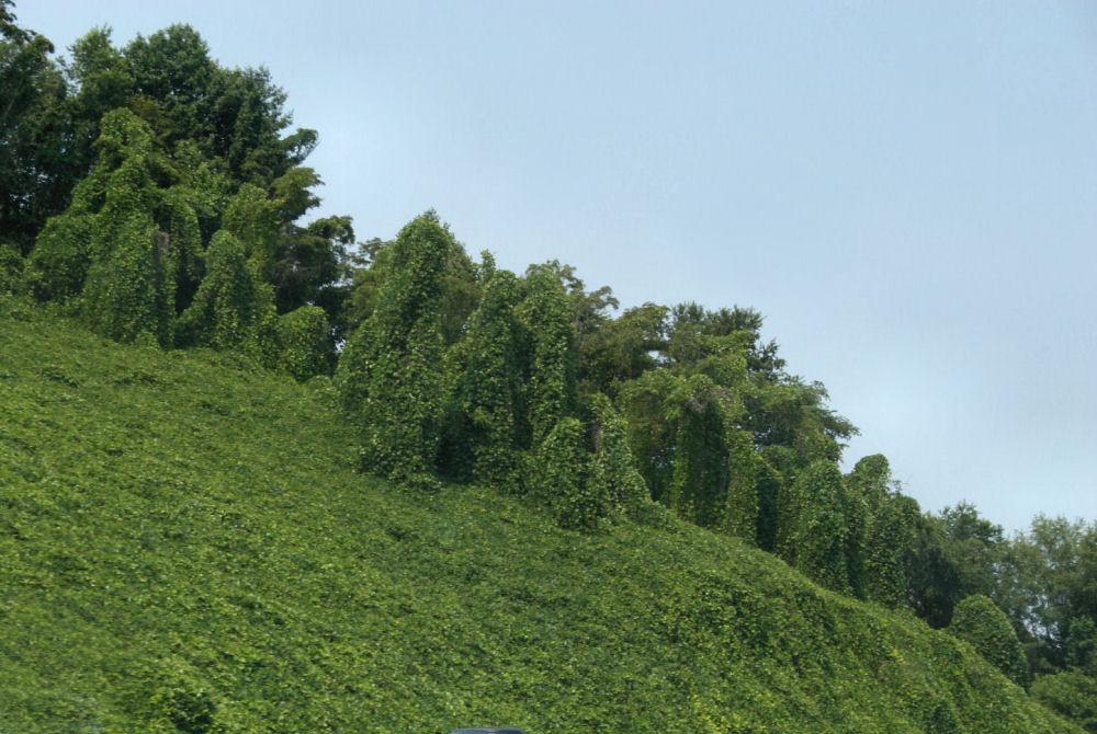 Kudzu - invasive vine species covers forests in Tennessee