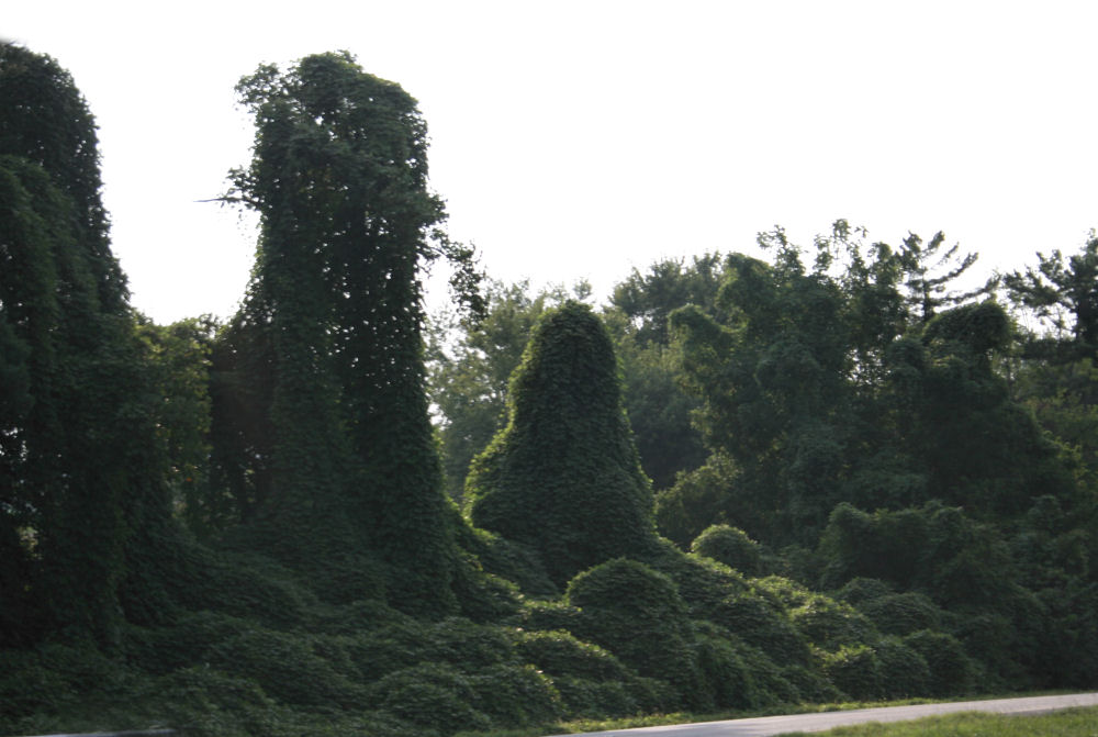 Kudzu, an invasive vine species covering trees in Southern USA, creating sculptural shapes