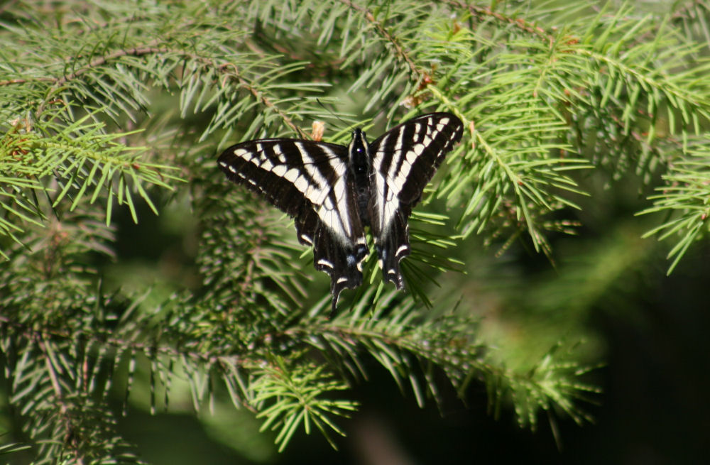 Fluted Swallowtail on Salt Spring Island, BC