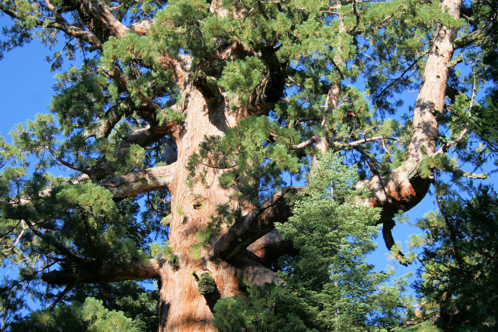 Giant Sequoia, top branches