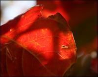 Crepe Myrtle leaves, seasonal change, Lewisville, TX