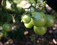 Healthy tomatoes in November - finally - do they have time to ripen before frost?
