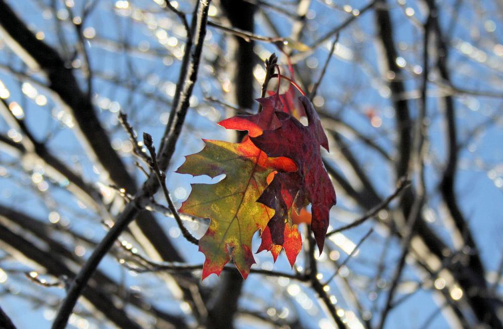 Scarlet Oak, ice storm, Lewisville, TX
