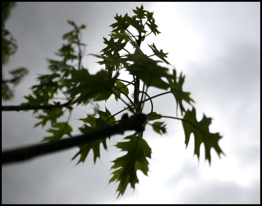 Spring Silhouettes, new Scarlet Oak leaves