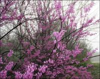 Redbuds, early March, Coppell Texas
