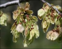 American Elm seeds, early March, Coppell Texas