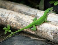 Green Anole in our back yard