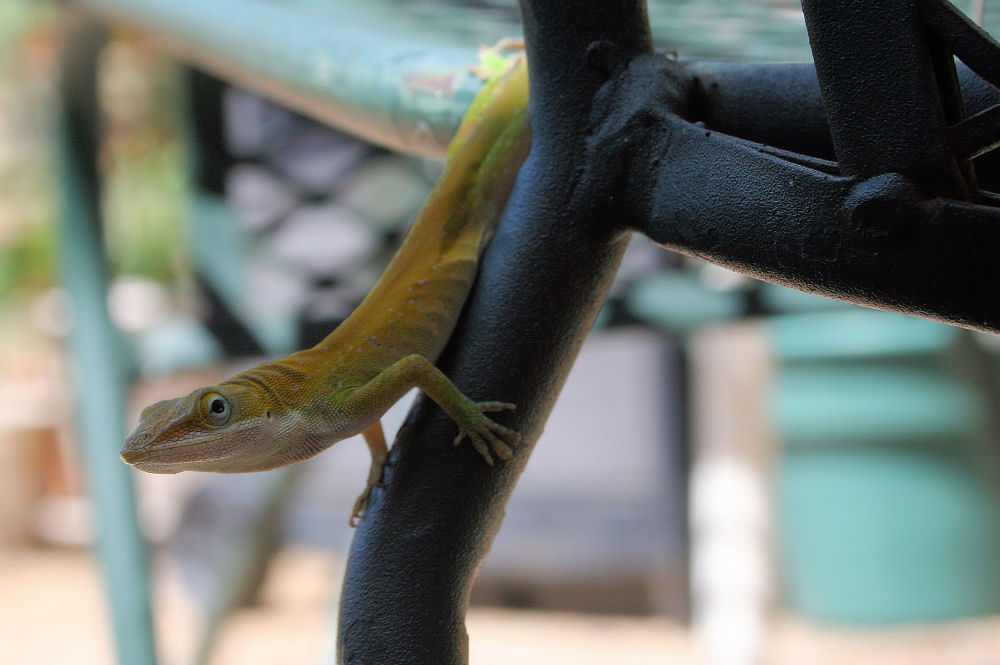 Anole on the lawn chair