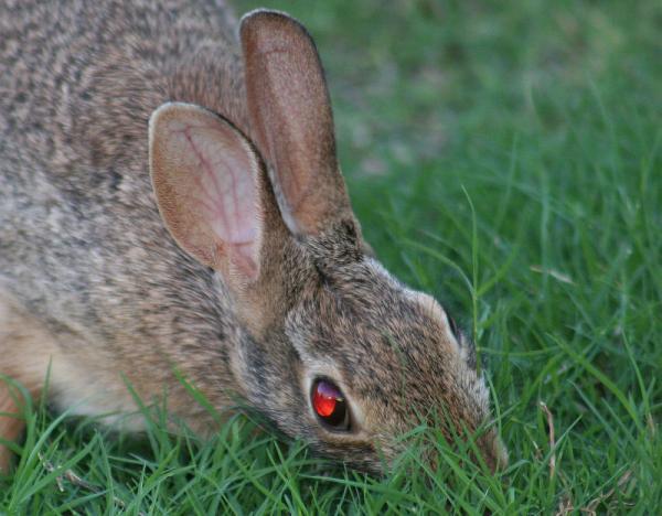 Ruby-eyed rabbit