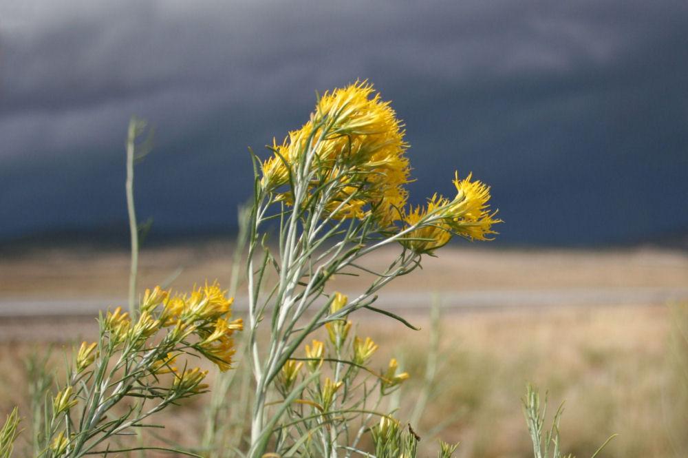 Autumn storm nearTaos, New Mexico. Wildflowers: Bird's Beak