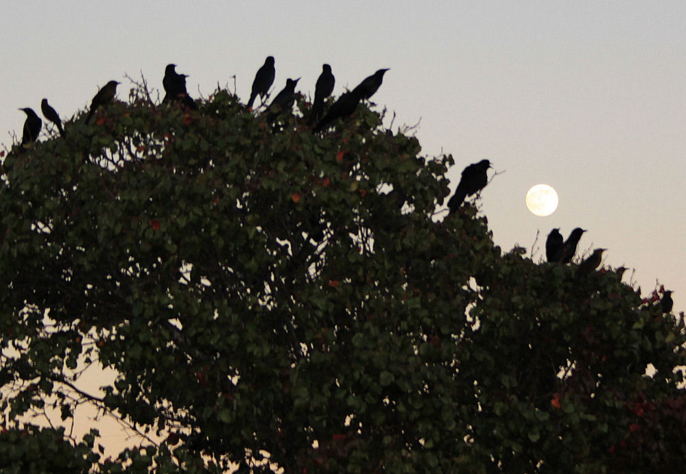 Grackles at sunset, Round Grove Road, Lewisville, TX