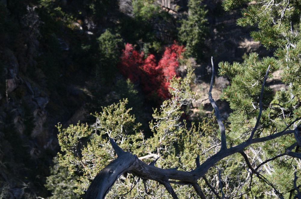 Red heart-shaped foliage, Grand Canyon, AZ