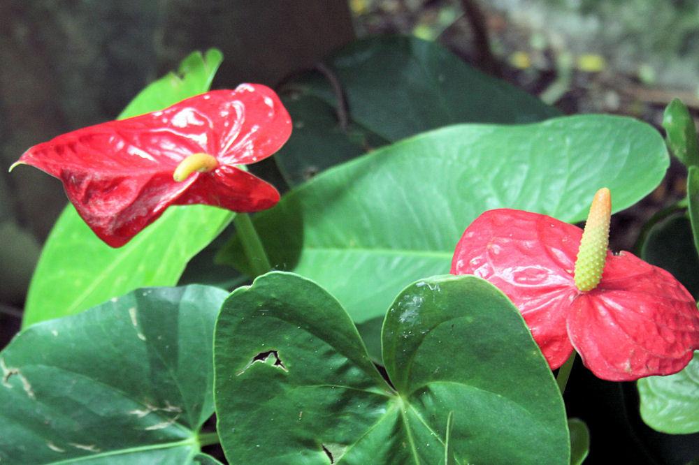 Aroids Anthurium Araceae