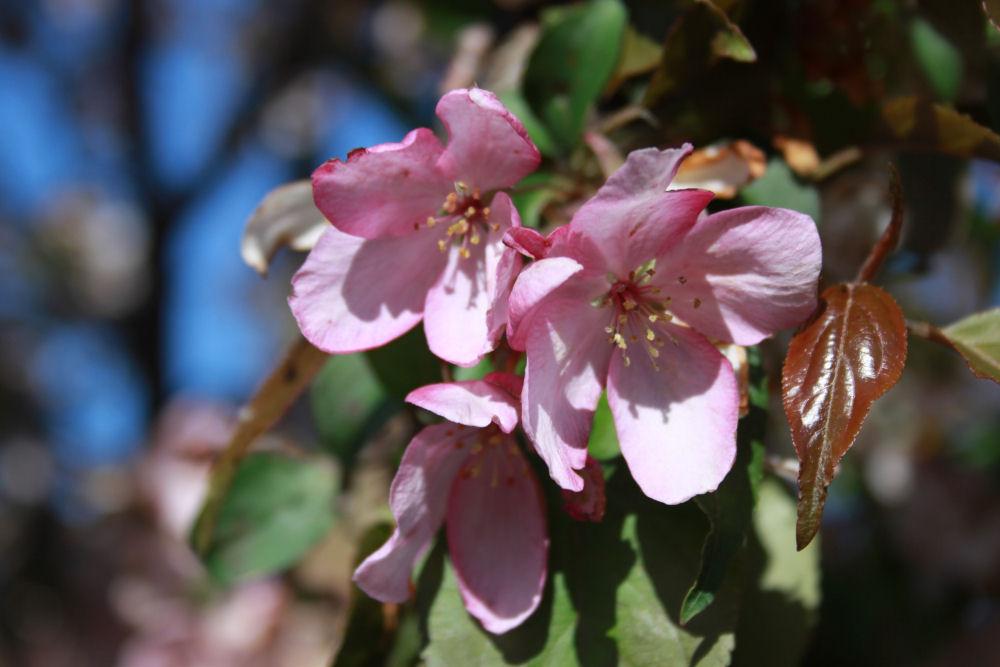 Cherry blossoms, Madison Arboretum, Wisconsin